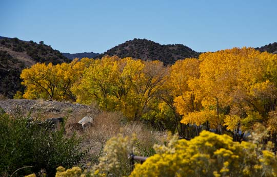 Cottonwoods of the Rio Grande in the Fall, New Mexico