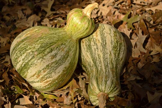 Cushaw squash or pumpkin