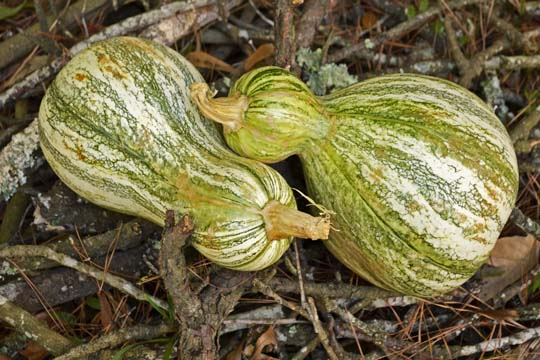 Cushaw squash for stewed cushaw | mjskitchen.com
