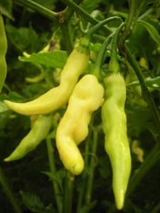 Murupi Amerela Peppers from fordsfieryfoodsandplants.com mjskitchen.com