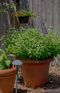 Grow mint in a large container to keep it from taking over your garden. mjskitchen.com