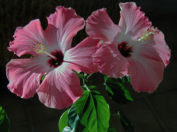 Pink Hibiscus flowers, dried and used to make hibiscus simple syrup and tea. mjskitchen.com
