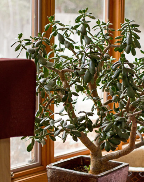 Jade Tree used to create bokah for photographs' background
