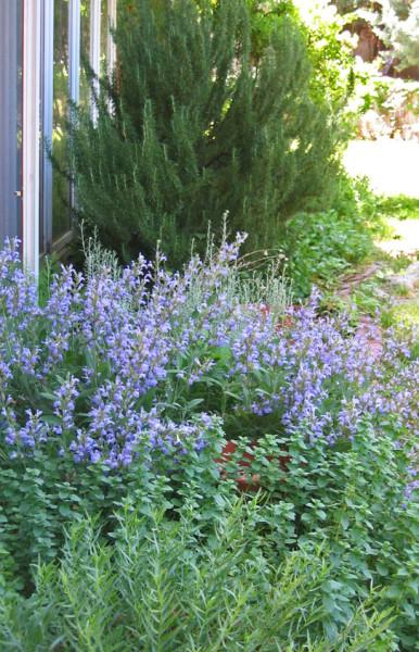 Backyard herbs - tarragon, oregano, sage (blooming), rosemary