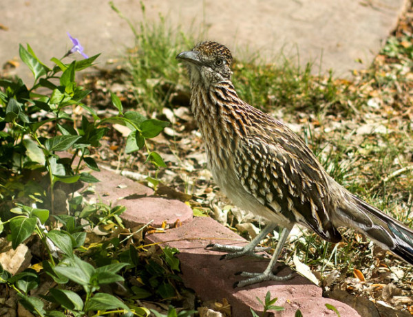 Roadrunners are very adaptable to city environments, especially in New Mexico | mjskitchen.com