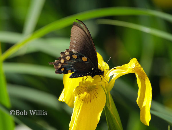 The pipevine swallowtail butterfly - photo by Bob Willis | mjskitchen.com