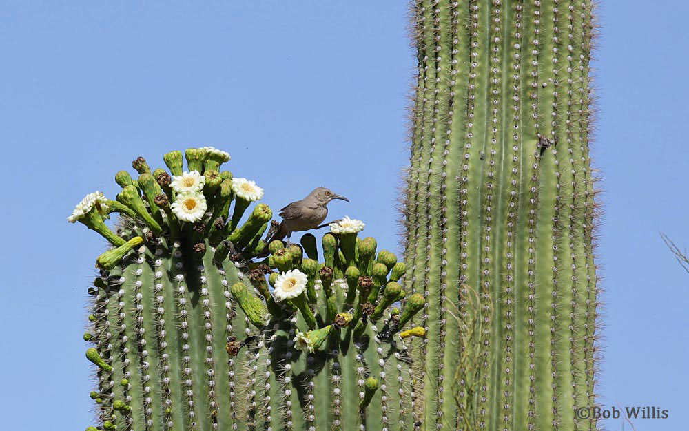 A curved bill trasher feeding on a Saguaro Bloom ((c) Bob Willis) | mjskitchen.com