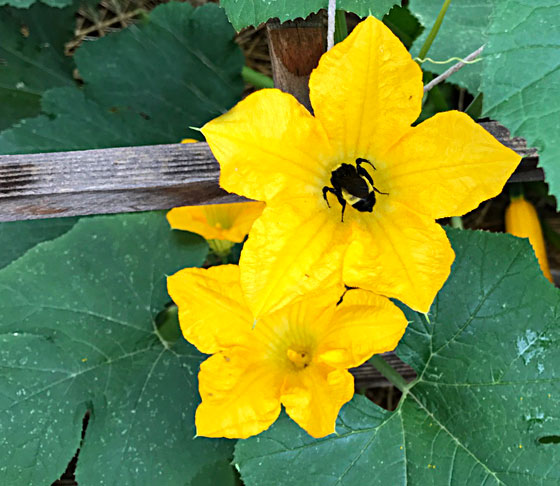 Squash Blossoms and Bee | mjskitchen.com