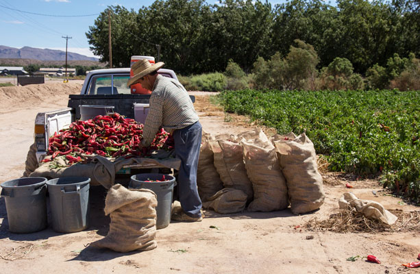 Picking red chile in Hatch, New Mexico | mjskitchen.com