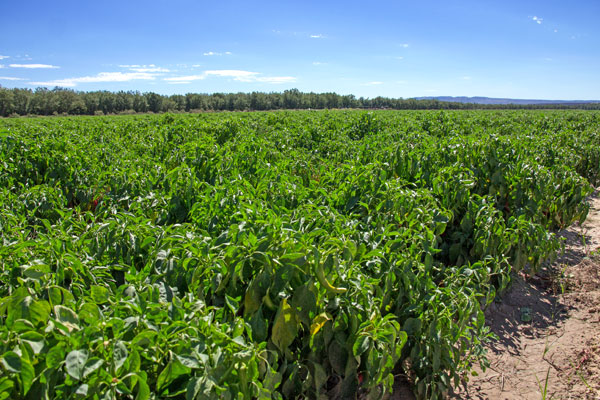 A field of chile in Hatch, New Mexico | mjskitchen.com